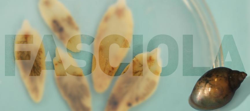 El parásito del mes: <em>Fasciola hepatica</em>