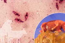 El parásito del mes: <em>Tritrichomonas foetus</em> y tricomonosis bovina