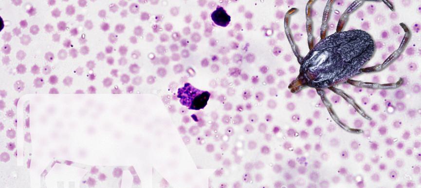 El parásito del mes: <em>Theileria annulata</em> y la theileriosis bovina mediterránea